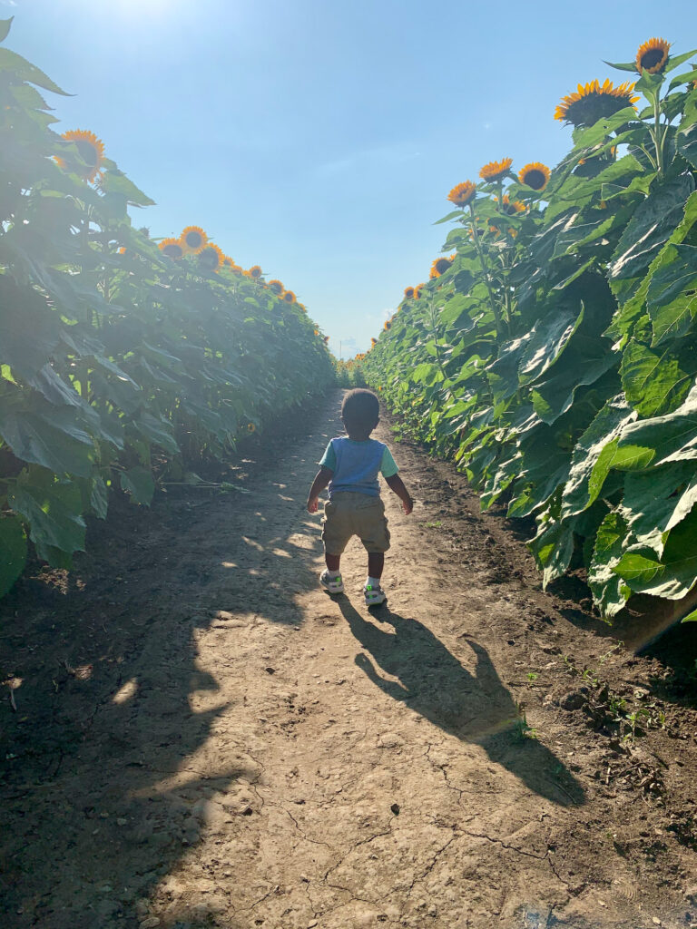 Toddler walking on a dirt path in a field of tall sunflowers on a sunny day.